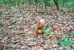 Röd ekorre med muttern i skogen Royaltyfri Bild