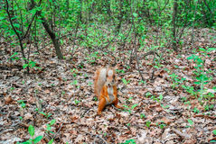 Röd ekorre med muttern i skogen Royaltyfria Bilder