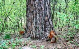 Röd ekorre med muttern i skogen Fotografering för Bildbyråer