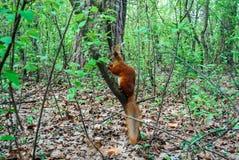 Röd ekorre med muttern i skogen Arkivfoton
