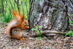 Röd ekorre med muttern i skogen Arkivbild