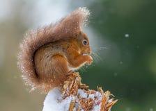Röd ekorre med snö på svansen Fotografering för Bildbyråer