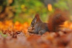 Röd ekorre med valnöten på de orange bladen Fotografering för Bildbyråer