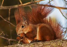 Röd ekorre på breanchen Fotografering för Bildbyråer