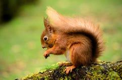 Röd ekorre på en trädstubbe Fotografering för Bildbyråer