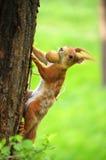 Röd ekorre på ett träd med en mutter Arkivfoton