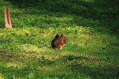 Röd ekorre på grönt gräs Royaltyfria Foton