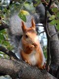Röd ekorre som äter på trädet Fotografering för Bildbyråer