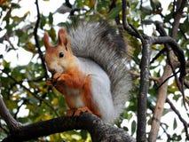 Röd ekorre som äter på trädet Royaltyfria Bilder