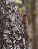 Röd ekorre som klättrar ett silverbjörkträd Arkivbilder