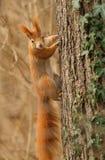 Röd ekorre som klamra sig fast intill ett träd Royaltyfria Foton