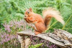 Röd ekorre som matar den på engelska skogen Fotografering för Bildbyråer