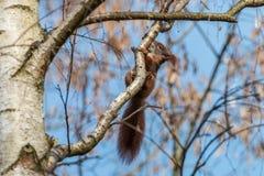 Röd ekorre som sätta sig på björkfilial och slickar trädfruktsaft royaltyfri bild