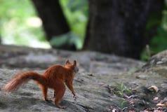 Röd ekorre som söker efter muttrar Fotografering för Bildbyråer
