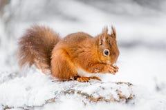 Röd ekorre som söker för mat i vinter Arkivbild