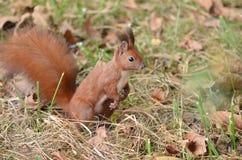 Röd ekorre som söker för muttrar in i skogen Arkivbild