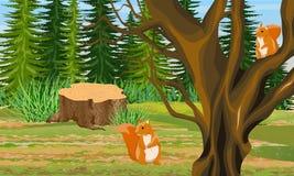 Röd ekorre två på filialerna av ett magasin och på jordningen under ett träd stubbe Spruce skog royaltyfri illustrationer