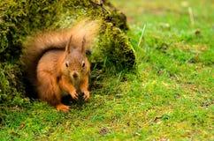 Röd ekorre vid en trädstubbe Fotografering för Bildbyråer