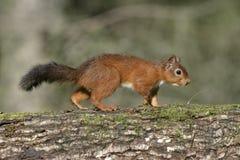 Röd ekorre, vulgaris Sciurus Royaltyfri Fotografi