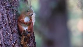 Röd ekorre, vulgaris som Sciurus vilar bland lövverket av ett sörjaträd på en solig juli morgon i röktopans NP, Skottland lager videofilmer