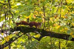 röd ekorretree Royaltyfri Bild