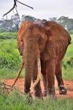 Röd elefant av Tsavo, Kenya Royaltyfria Foton