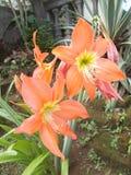Röd eller orange amaryllisblommaträdgård Royaltyfria Foton