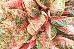 Röd eller rosa linje sidor för bästa sikt med gröna modeller som blommar i trädgård, dekorativ textur för färgrik naturaglaonema royaltyfri foto