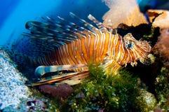 Röd eller Volitan Lionfish Royaltyfri Foto