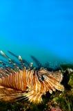 Röd eller Volitan Lionfish Arkivbild