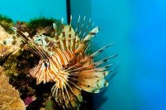 Röd eller Volitan Lionfish Royaltyfri Bild