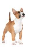 Röd engelskabull terrier valp arkivfoto