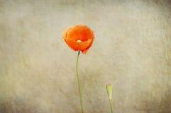 Röd ensam vallmo på en beige bakgrund Arkivfoto