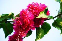 Röd färg av bougainvillean royaltyfria foton