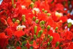 Röd färg för flammaträd eller påfågelblomma med det gröna bladet arkivfoto