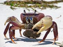 Röd färgad hav-krabba Arkivbilder