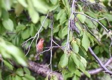 Röd fågel i träd Fotografering för Bildbyråer