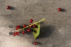 Röd fågel-körsbär tree Royaltyfri Bild
