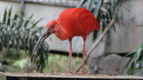 Röd fågel på den fågelKindgom aviariet i Niagara Falls, Kanada version 2 Arkivfoto