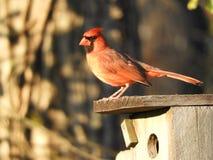 Röd fågel på ett blåsångarehus Arkivfoton
