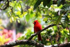 Röd fågel på ett träd Arkivfoton