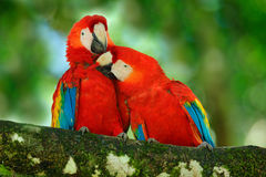 Röd fågelförälskelse Par av den scharlakansröda aran för stor papegoja, munkhättor Macao, två fåglar som sitter på filialen, Cost royaltyfria foton