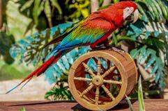 Röd fågelpapegoja fotografering för bildbyråer
