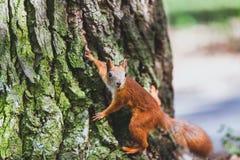 röd för sommartree för ekorre 2010 stam Royaltyfri Foto