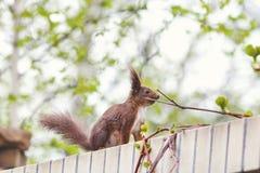 röd för sommartree för ekorre 2010 stam Royaltyfri Fotografi