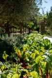 Röd förföljd chard som växer i grönsakträdgården på Babylonstoren, Sydafrika Solljussken till och med sidorna arkivfoton