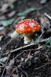 Röd förgiftad champinjon som växer i sommarskogen Royaltyfri Bild
