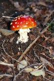 Röd förgiftad champinjon som växer i sommarskogen Royaltyfri Fotografi