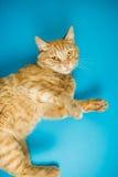 Röd förtjusande katt med nyfiken blick på blå bakgrund Arkivbilder