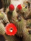 Röd facklakaktus med blomman och knoppar Arkivbilder